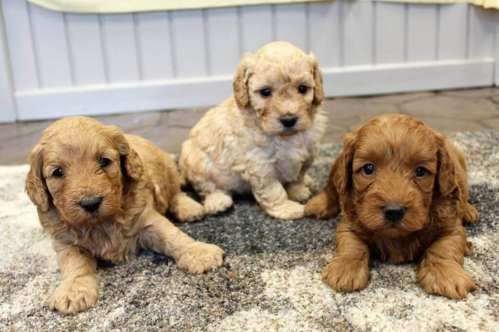 Mini Goldendoodles